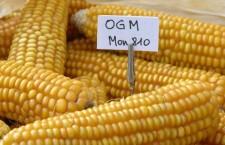 OGM : le MON810 de Monsanto va-t-il être de nouveau cultivé en France ? (francetvinfo)