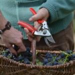 Un viticulteur poursuivi pour avoir refusé de traiter ses vignes (Libération)