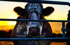 « Cowspiracy » :  un documentaire choc sur l'impact de la consommation de viande sur l'environnement